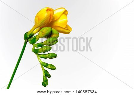 Yellow freesia flowers against a white background