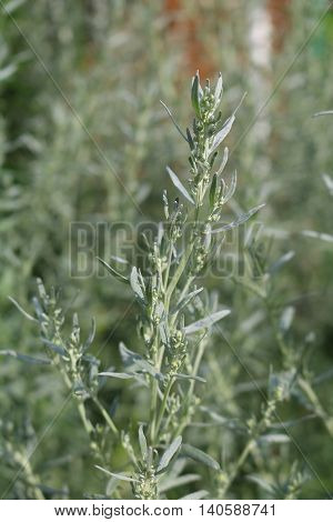 Wormwood (Artemisia absinthium) - perennial herb of silvery color, with a strong aromatic odor and bitter wormwood famous