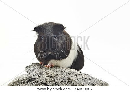 guinea pig sit on stone