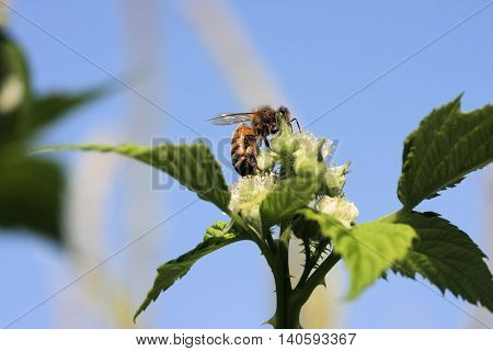 Bee working blackberry bush flowers and gathering pollen on its hind legs.