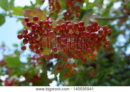 Viburnum opulus shrub red fruit and leaves.