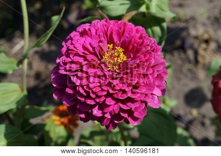Elegant zinnia pink with yellow center flower close up.