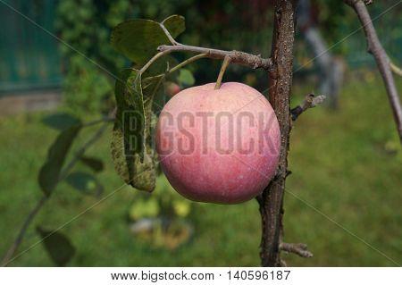 One pink-red fruit apple 'Slava pobediteljam' on a branch.