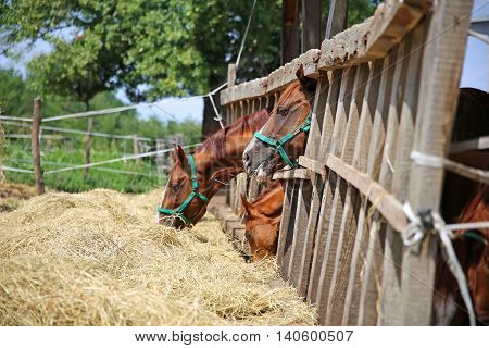 Beautiful young horses sharing hay on a horse farm rural scene outdoors