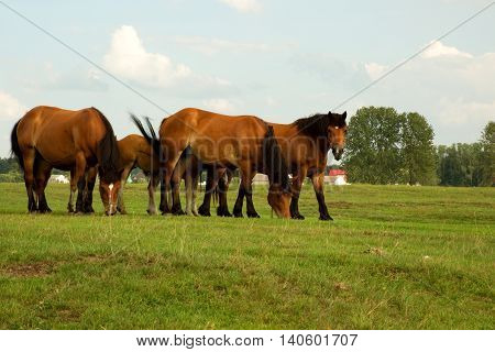 A few horses graze in the meadow summer Podlasie district in Poland. Horizontal view.