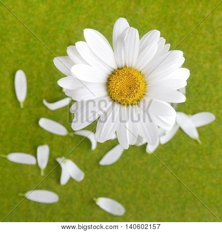 love or does not love me, plucked daisy with petals on green grass background