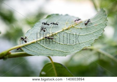 Honey ants protecting and tending the aphids in their care