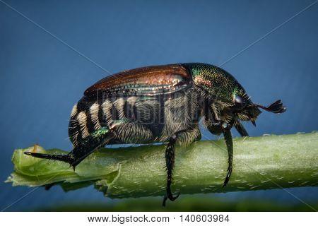 Close up macro green Japanese beetle on green leaf