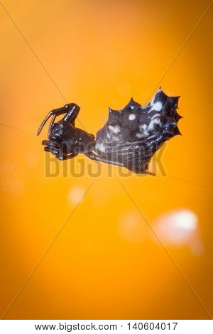Extreme close up macro Spined Micrathena Spider on orange background