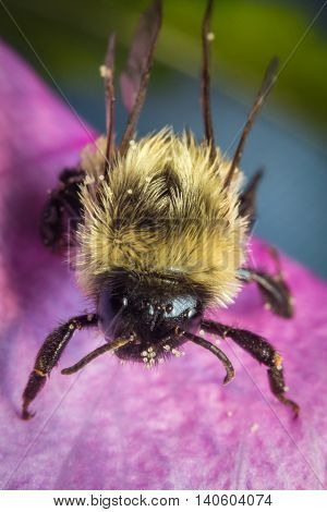 Common eastern bumblebee on pink flower in extreme closeup macro