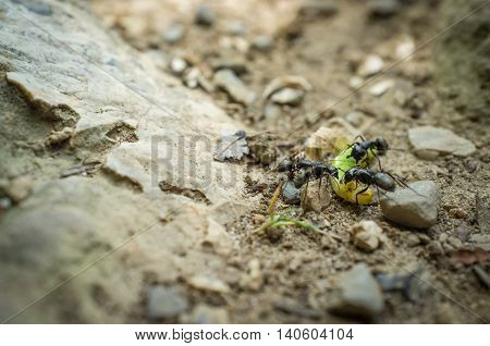 Close up macro black ants attacking defenseless green caterpillar