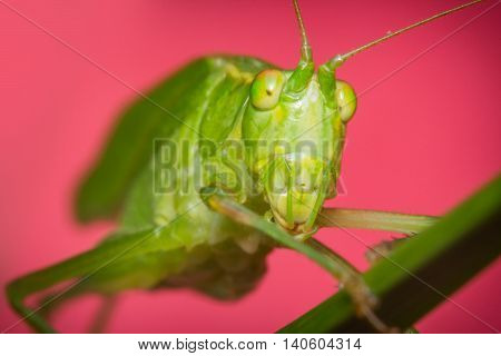 Fork-Tailed Bush Katydid on grass with pink background
