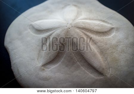 Closeup sand dollar hardened sea shell closeup background