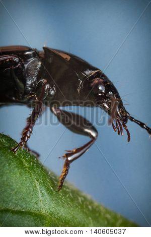 Close up macro cedar beetle or sandalus niger on green leaf