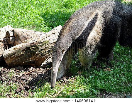 big  exotic animals - Anteater in nature