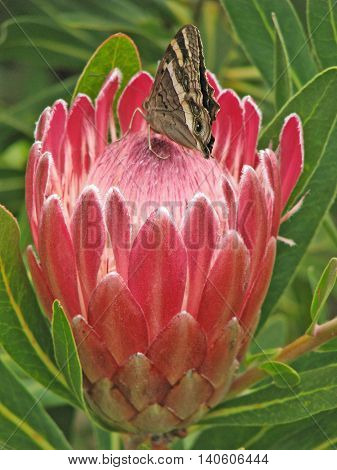 Butterfly Sitting On Protea, Kirstenbosch Cape Town