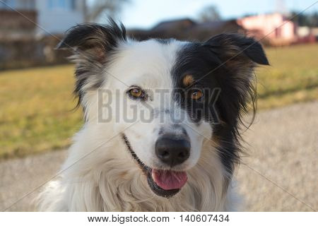 Border Collie with a beautiful black and white drawing of the face