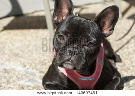 black French Bulldog looks sad - closeup portrait