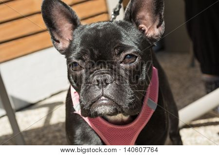 black French Bulldog looks sad - portrait and depth-of-field