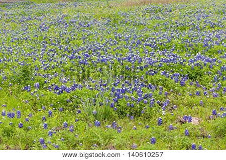 Bluebonnet field in spring in Ennis Texas.