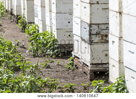 Honey bees entering and exiting hives during the day