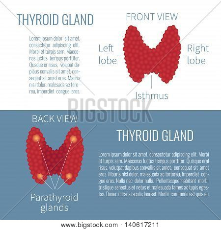 Thyroid gland front and back view on white and blue background. Human thyroid gland symbol. Medical concept. Human body organs anatomy icon. Isolated vector illustration.