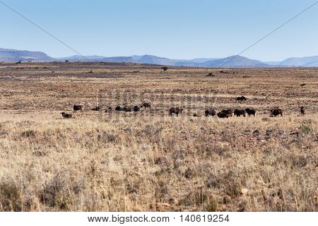 Black Wildebeest Landscape In Cradock