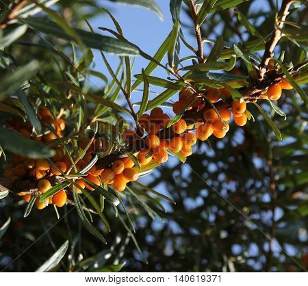 Common sea buckthorn branch with yellow berries