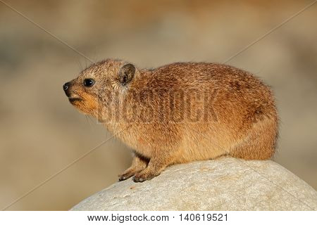 Rock hyrax (Procavia capensis) basking on a rock, South Africa