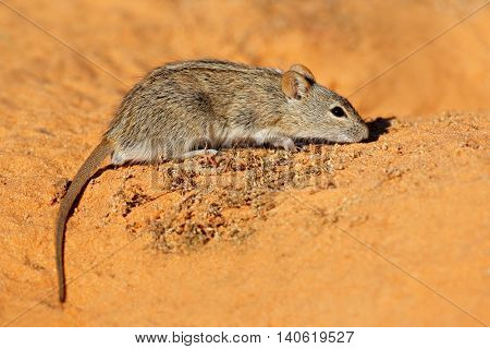 A striped mouse (Rhabdomys pumilio) in natural habitat, South Africa