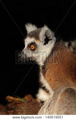 Portrait of a ring-tailed lemur (Lemur catta), Madagascar