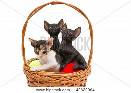 Three little kittens Cornish Rex in a basket isolated on white