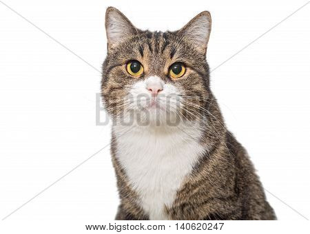 Portrait of a serious grey cat isolated on white