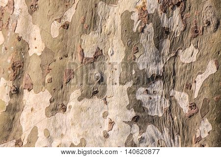 Cracked bark of an large old plane tree