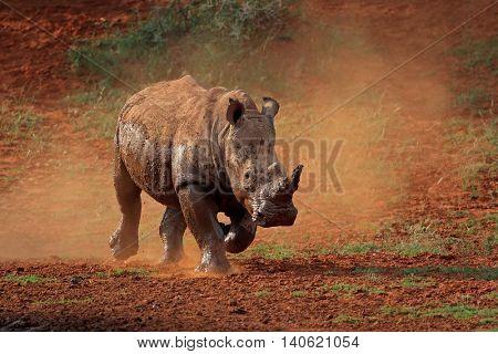 A white rhinoceros (Ceratotherium simum) running in dust, South Africa