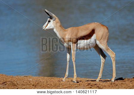 A springbok antelope (Antidorcas marsupialis) at a waterhole, Etosha National Park, Namibia