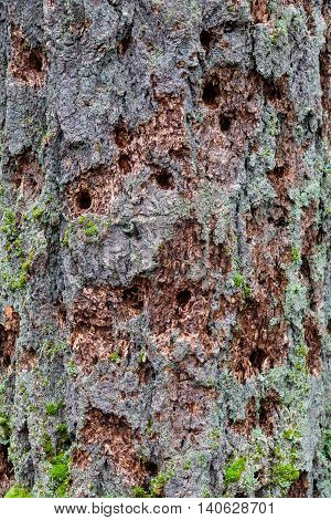 Many woodpecker holes in the trunk of an evergreen tree
