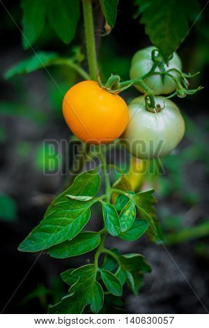Tomatoes growing in a kitchen garden. Red and green tomatoes on the branch. Environmentally friendly product, organic gardening.