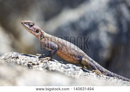 Gecko stands on a rock in Serengeti Tanzania in Africa. Close-up with selective focus.