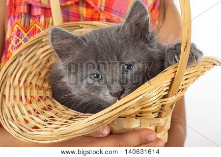 Grey kitten in child's hands, isolated on white
