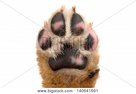 paw on the puppy on a white background