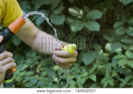 Male hand wtih a garden hose pointing water on a small budgie in another hand, outdoor cropped shot