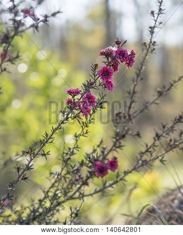 Leptospermum scoparium Burgundy red small Australian native flowers flowering in winter