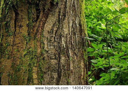 a picture of an exterior Pacific Northwest old growth Alder tree