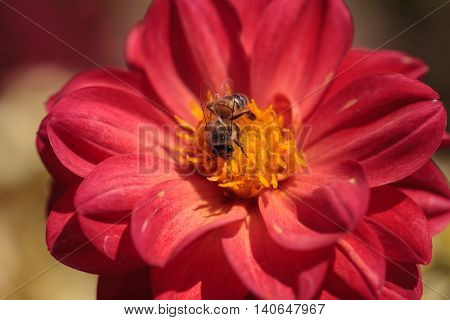 Red Dahlia flower called Fascination with a honeybee, Apis mellifera, gathering pollen in summer.