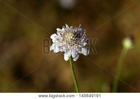 Flower of a cream pincushions (Scabiosa ochroleuca).