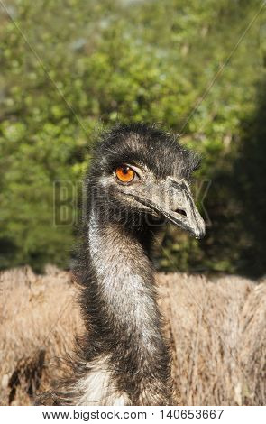 one wild emu close up of head view