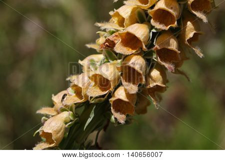 Flowers of the rusty foxglove (Digitalis ferruginea) a digitalis species from Southern and Eastern Europe.