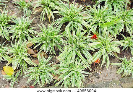 Chlorophytum in white flowerpot on wooden background. Ornamental plants in soil Variegatum comosum Spider Plant