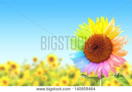 Rainbow. Sunflower with petals, painted in different colors in field, on blue sky background